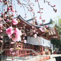 桃祭り - 2000体の雛人形と迎える春の素盞雄神社