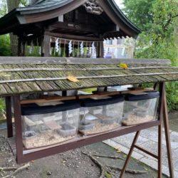 南千住の素盞雄神社で夏の虫かご展示中。子ども俳句相撲大会からの献句も