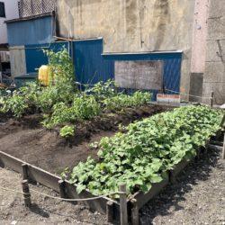 荒川中央通りのごきんじょファーミングの作物ぐんぐん成長中!お手伝い募集